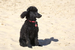Toy poodle. A cute little toy poodle at the beach Royalty Free Stock Photography