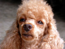 Toy Poodle. Cute Toy Poodle Royalty Free Stock Photography