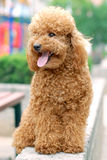 Toy Poodle. Day afternoon in a roadside shoot a beautiful dog Royalty Free Stock Photos