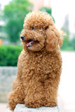 Toy Poodle. Day afternoon in a roadside shoot a beautiful dog Stock Photography