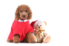 Toy poodle Stock Photo