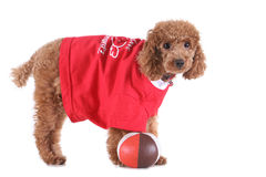 Toy poodle. With puppy cut in large red T-shirt Stock Images