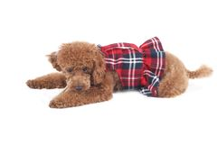 Toy poodle. In red checkered dress skirt Royalty Free Stock Photos
