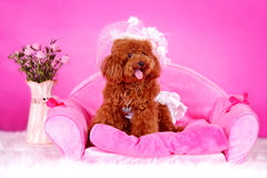 Toy poodle. A toy poodle with cloth sitting in sofa Royalty Free Stock Images