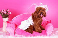 Toy poodle. A toy poodle with cloth sitting in sofa Stock Image