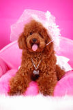 Toy poodle. A toy poodle with cloth sitting in sofa Stock Images