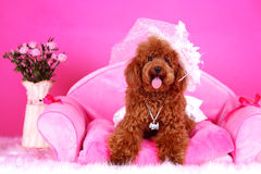 Toy poodle Royalty Free Stock Photo