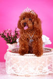 Toy poodle. A toy poodle in basket Stock Photo