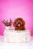 Toy poodle. A toy poodle in basket Stock Photos