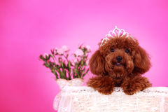 Toy poodle. A toy poodle in basket Stock Photography