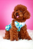 Toy poodle. A toy poodle with cloth in front of pink background Royalty Free Stock Photo
