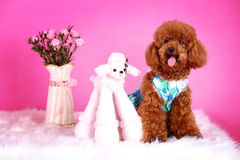 Toy poodle Royalty Free Stock Image