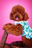Toy poodle. A toy poodle with cloth in front of pink background Royalty Free Stock Photos