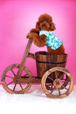 Toy poodle. A toy poodle with cloth in cask Royalty Free Stock Images