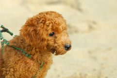 Toy poodle. In a beach shoot  small brown toy poodle Royalty Free Stock Photography