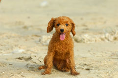 Toy poodle Stock Image