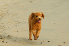 Toy poodle. In a beach shoot  small brown toy poodle Stock Image