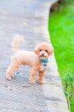 Toy Poodle Stockfoto