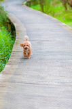 Toy Poodle imagem de stock