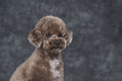 Toy poodle apricot portrait in studio with gray background. royalty free stock photo