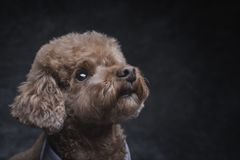 Toy poodle apricot portrait in studio with gray background. Horizontal. Copyspace royalty free stock photos