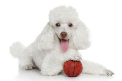 Toy poodle with ball Stock Photo