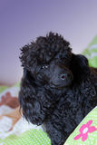 Toy poodle on bed Royalty Free Stock Photography