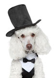 Toy Poodle in black waistcoat and hat Stock Photos