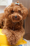Toy Poodle with  blue ribbon 2 Royalty Free Stock Image