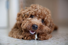 Toy Poodle and Bone Stock Images