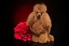 Toy Poodle com a flor vermelha no fundo escuro fotos de stock