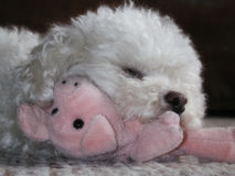 Toy poodle cuddling stuffed pig. White toy poodle cuddling up to stuffed pig Stock Photo