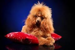 Toy Poodle die op een rood hoofdkussen liggen stock foto