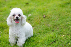 Toy poodle dog Stock Image