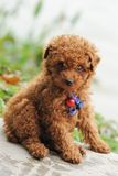 Toy poodle dog Royalty Free Stock Photography