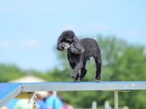 Toy Poodle at a Dog Agility Trial Stock Photo