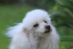 Toy Poodle dog in a yard. Toy poodle dog in a backyard on a spring day with lawn in the background Stock Images