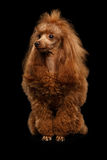 Toy Poodle Dog rosso su fondo nero isolato fotografia stock libera da diritti