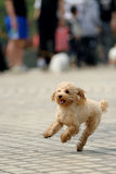 Toy poodle dog running Stock Images