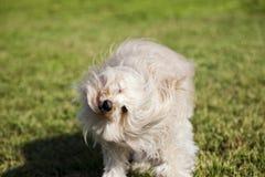 Toy Poodle Dog Shaking Head im Park lizenzfreie stockbilder