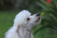 Toy Poodle dog smelling the air. In a backyard on a spring day Stock Photos
