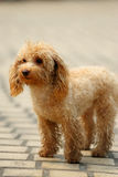 Toy poodle dog standing Royalty Free Stock Images