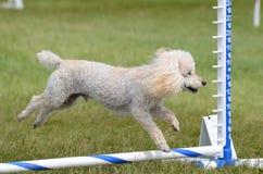 Toy Poodle em uma experimentação da agilidade do cão fotos de stock