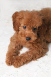 Toy Poodle Gaze. A brown, toy poodle on her belly, gazing to her left Stock Image