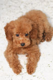 Toy Poodle Gaze 2 Stock Photos