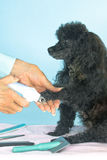 Toy Poodle gets her nails clipped Stock Photography