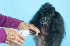 Toy Poodle gets her nails clipped Stock Image