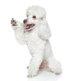 Toy Poodle gives that a paw Royalty Free Stock Photography