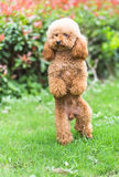 Toy Poodle On Grassy Field Photographie stock