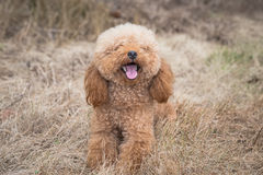 Toy Poodle On Grassy Field Image stock